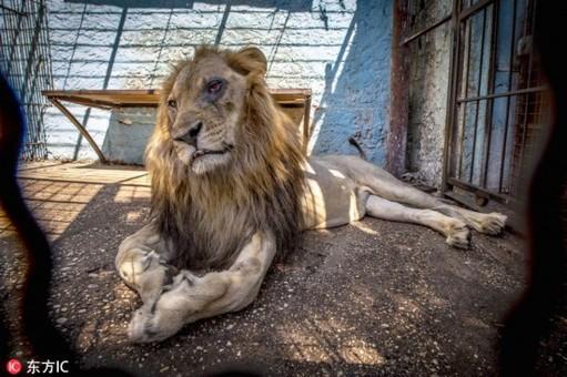 """阿尔巴尼亚""""地狱动物园"""" 狮王迟暮境遇凄惨"""