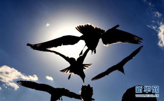 云南昆明红嘴鸥在夕阳下飞翔