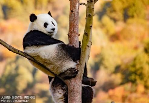 四川汶川卧龙:大熊猫萌态十足惹人爱