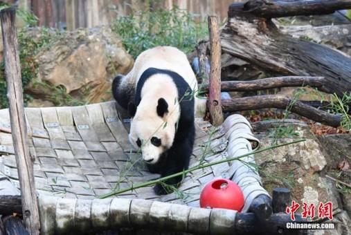 """旅美大熊猫""""贝贝""""回国"""