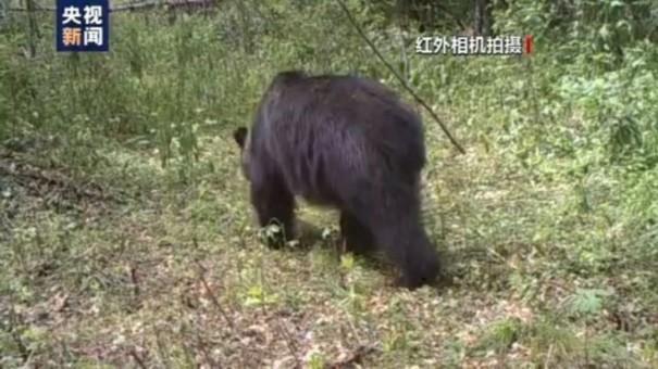 小兴安岭首次发现东北虎吃熊影像证据
