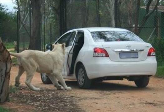 狮子突然扒开车门 游客吓得尖叫连连