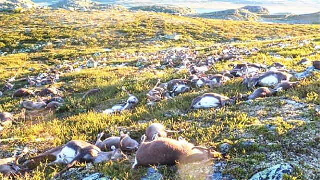 挪威:雷电劈死数百头野生驯鹿