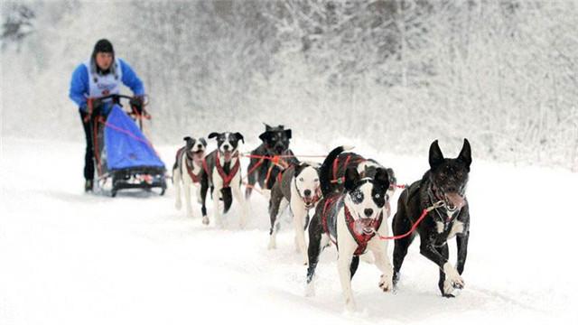 俄罗斯狗拉雪橇大赛 冰天雪地乐趣多