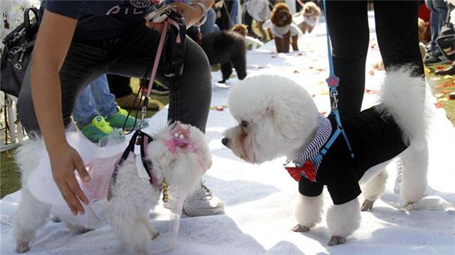 秘鲁为宠物狗举办婚礼 动物也浪漫