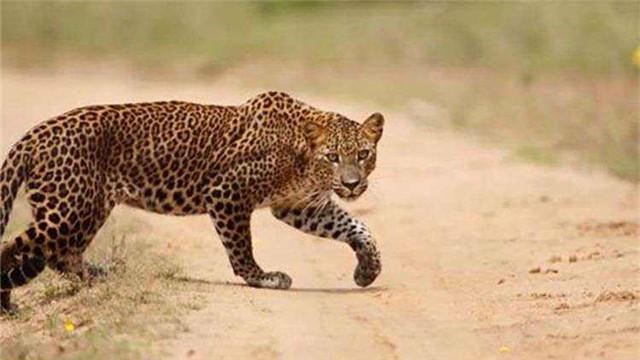 印度花豹闯村上房 抓捕不易