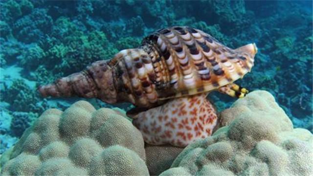 澳大利亚培育海星天敌 保护珊瑚