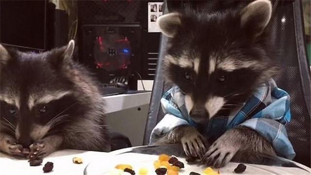 浣熊尽享坚果大餐 贪吃模样惹人爱
