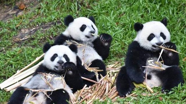 气温下降 大熊猫三胞胎欢乐多