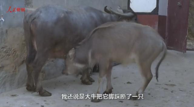 """天生三条腿 半岁牛犊活成""""牛坚强"""""""