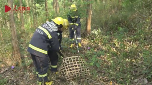 村民发现66斤野生大蟒蛇 消防成功帮助擒拿