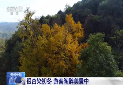贵州长顺:银杏染初冬 游客陶醉美景中