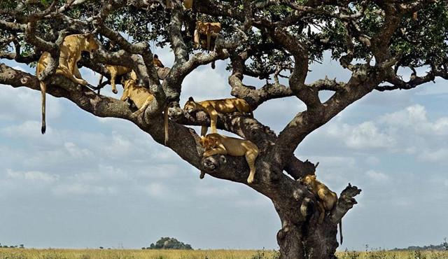 狮群爬上6米高大树乘凉尽显慵懒